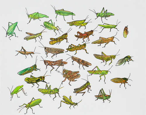 """Post-Audubon, Insects of North America, Grasshoppers, Crickets & Cicadas,  2007  19"""" x 24"""" Sharpie/watercolor on paper"""