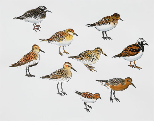 "Post-Audubon, Birds of North America, Sandpiper-like Birds,  2008  19"" x 24"" Sharpie/watercolor on paper"