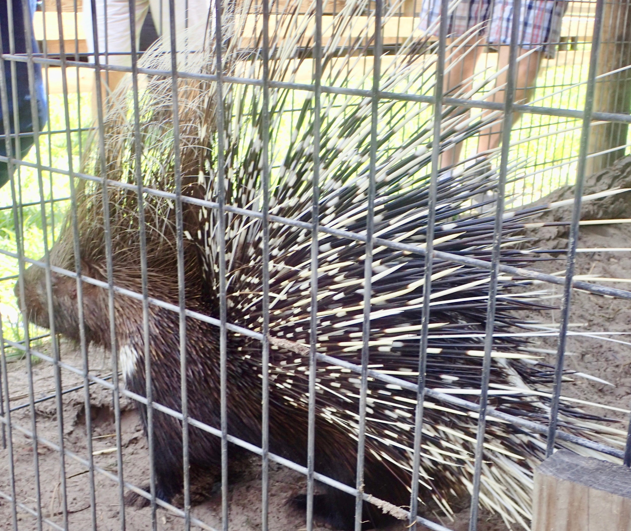 Giraffe Ranch Segway Safari porcupine