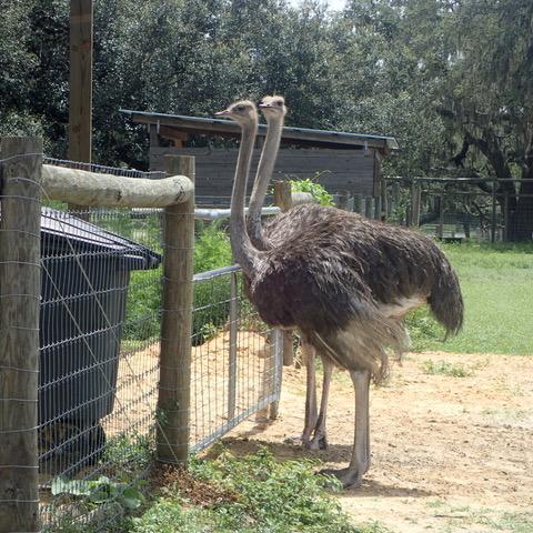 Giraffe Ranch Segway safari ostriches