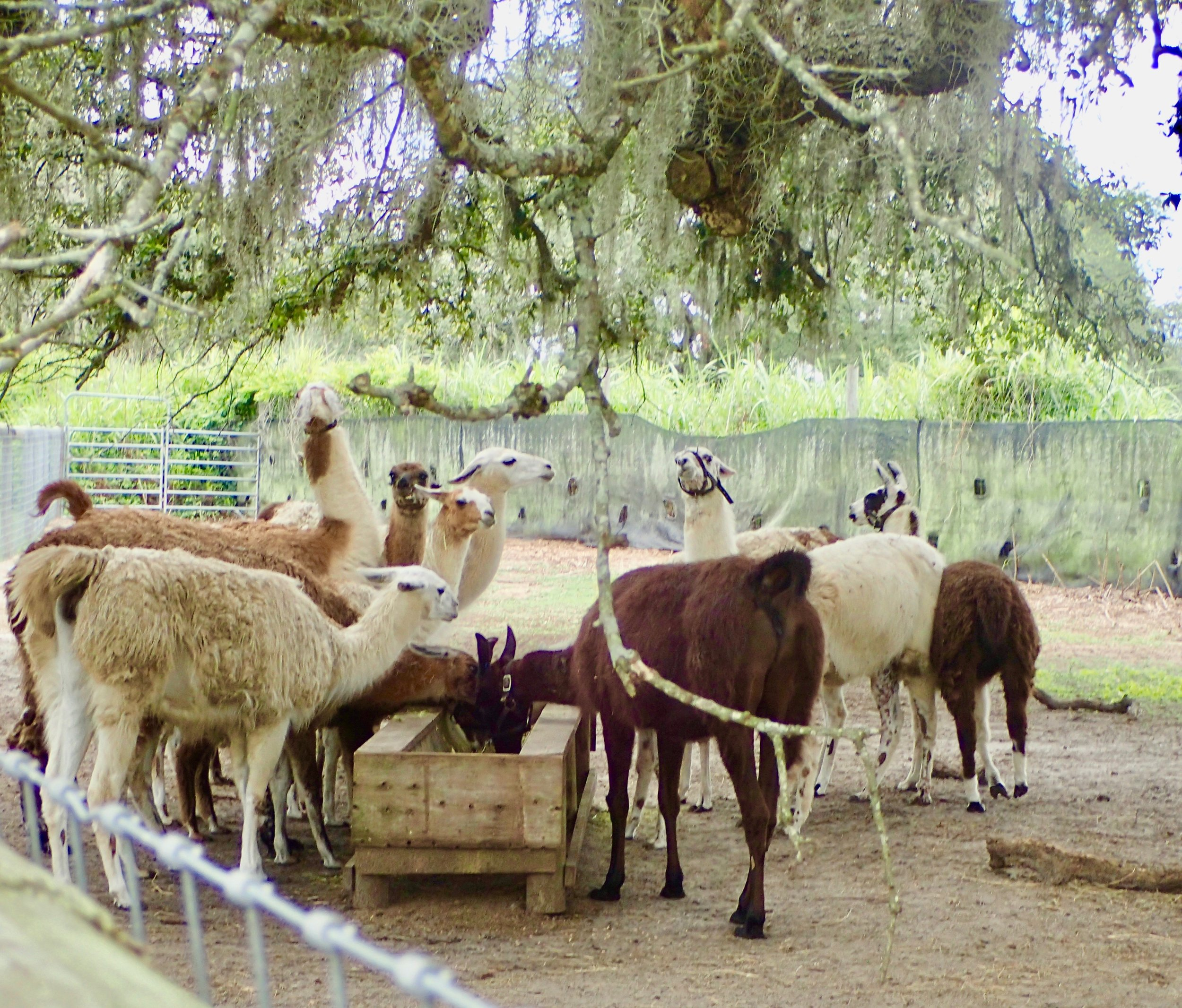 Giraffe Ranch Segway safari llamas