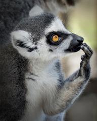 Giraffe Ranch Segway Safari Lemur Photo by F Scott Michael
