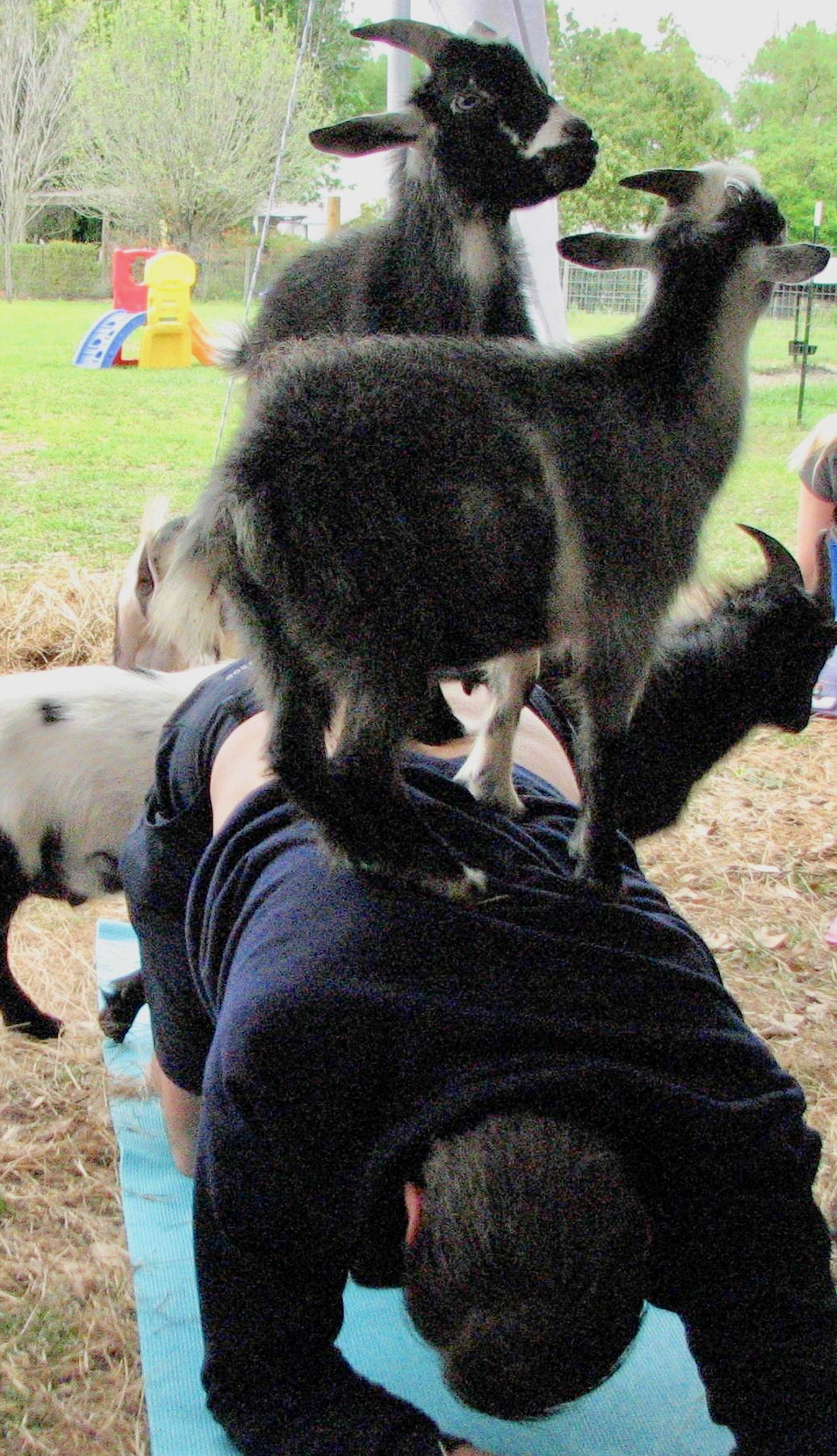 Oh wait. He has TWO goats on his back. OW! Maybe he liked it. It seems that most everyone at goat yoga Orlando enjoyed the experience.