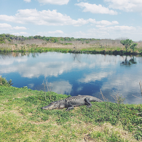Gator spotted at Paynes Praire - courtesy   Holly Marie Gibbs