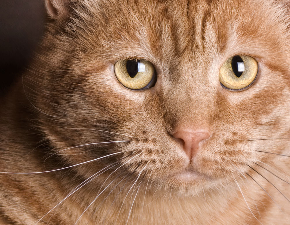 GiNGER   or orange cats are the crown jewels of feline color. They also have the reputation of being very laid back and masters of napping.