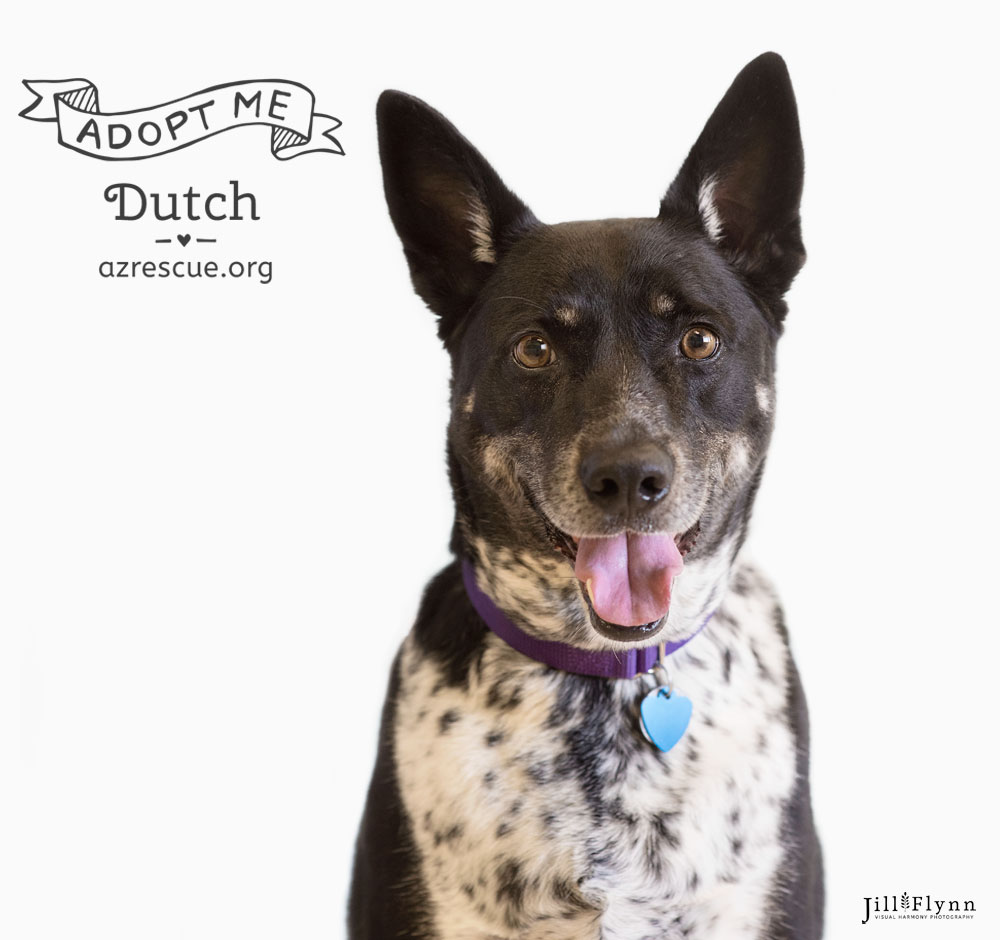 Dutch has superb manners and loves the ladies.He's a true gentleman! Check him out at  RESCUE .