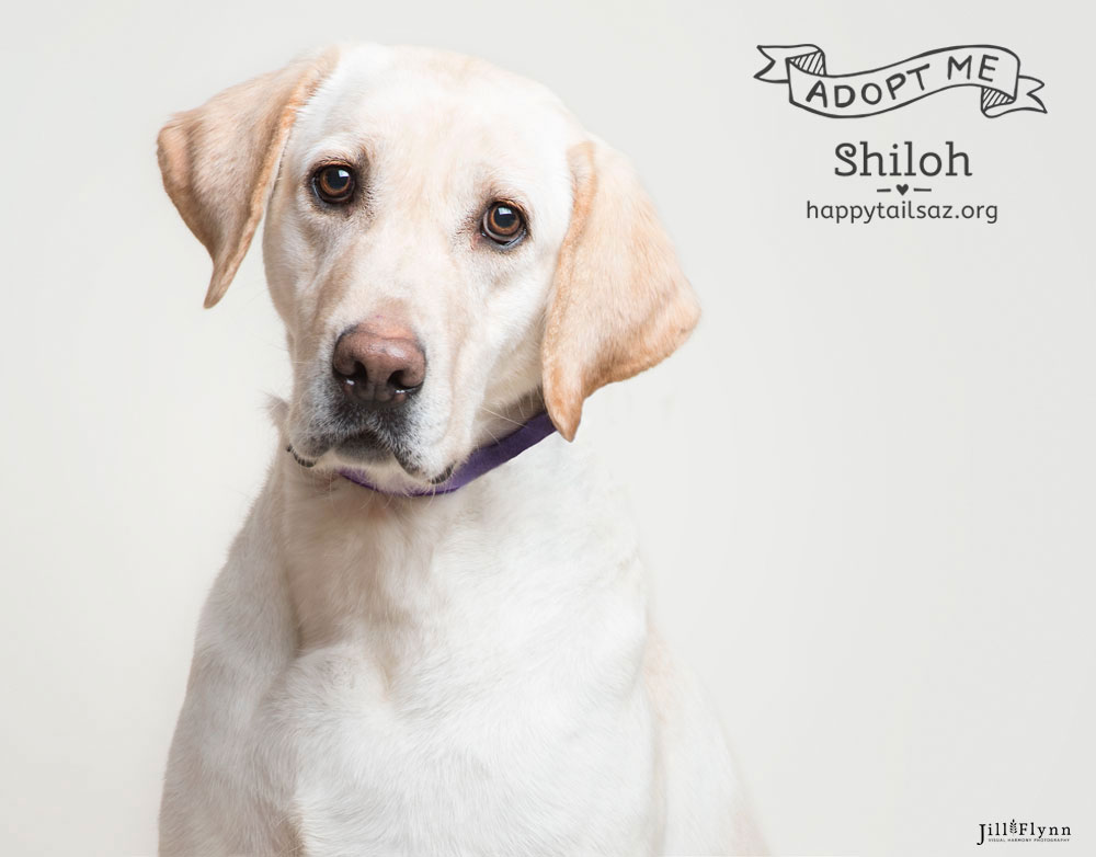 Playing with toys and fetching tennis balls are Shiloh's favorite things? If you can provide Shiloh with a lifetime of tennis balls she would love to meet you at  AZ Happy Tails .
