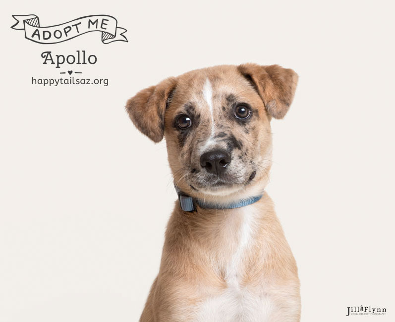 Do you love freckled-face mutts? Apollo is dreaming of a life filled with hiking and adventures. You can meet him at  AZ Happy Tails.