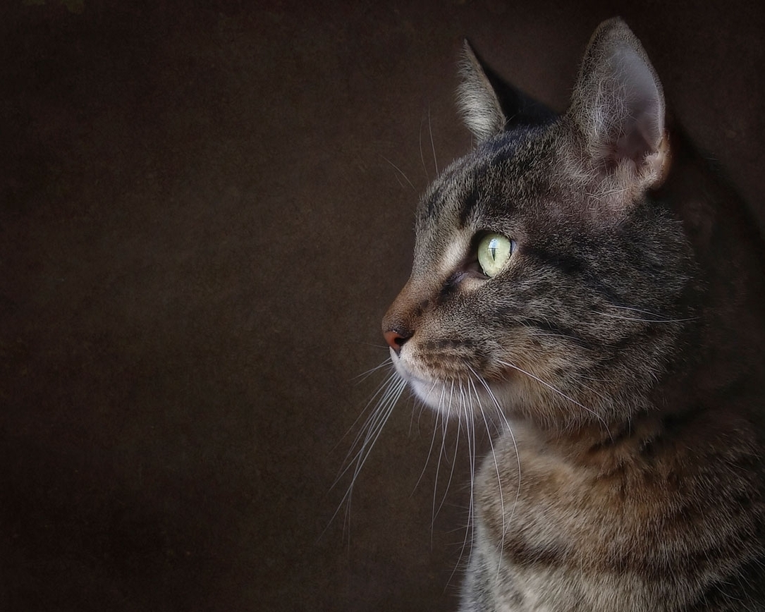 TABBY   cats come in different shades from silver to gray to brown. They always seem to be channeling the stripes and magnificence of their great ancestors - tigers.