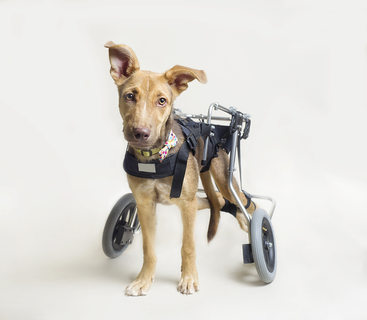 Disabled dog in handicap wheels.jpg