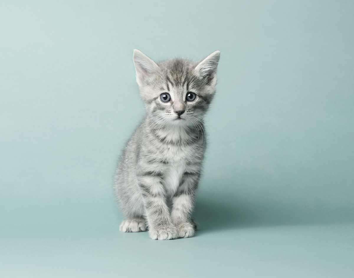 Adorable silver tabby kitten on teal background.jpg