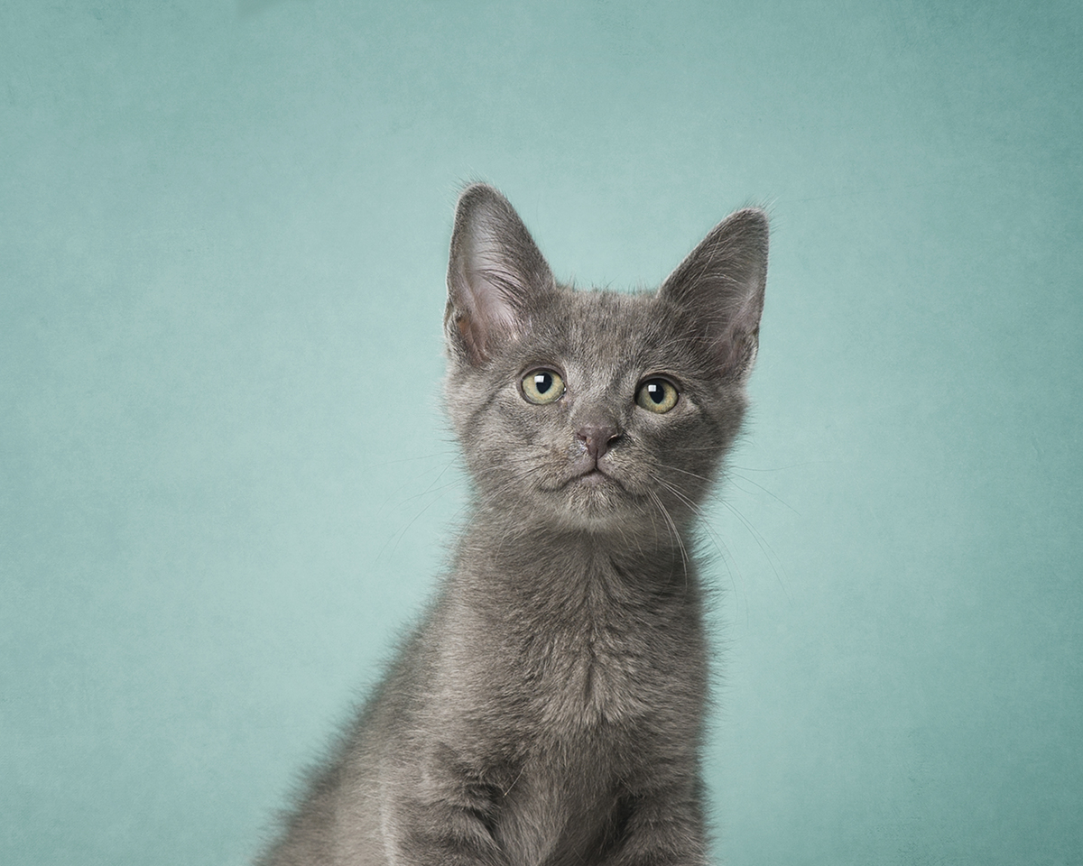 Gray kitten on teal background.jpg