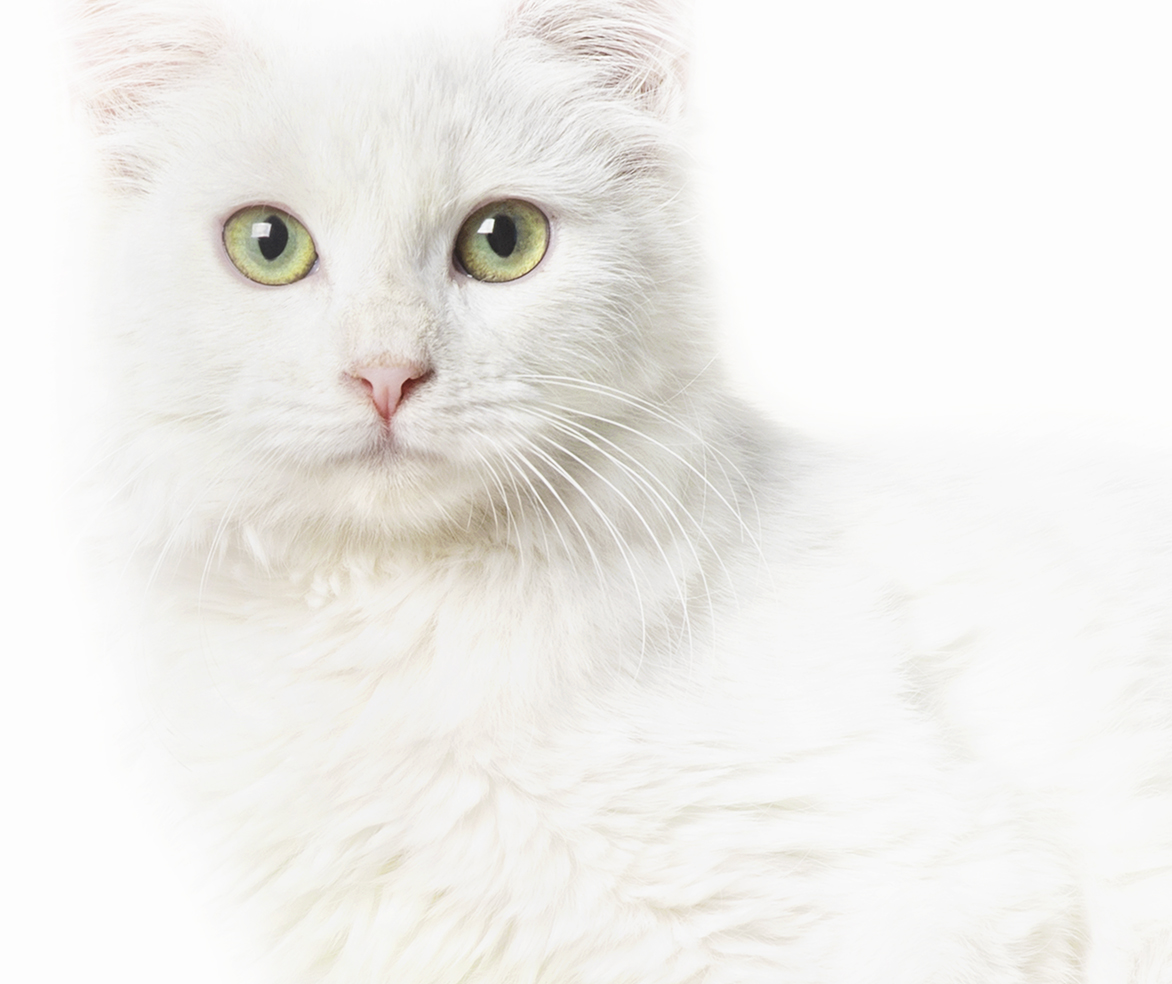 WHITE   is the color of new beginnings and the color of perfection. White cats are simply gorgeous in every way.