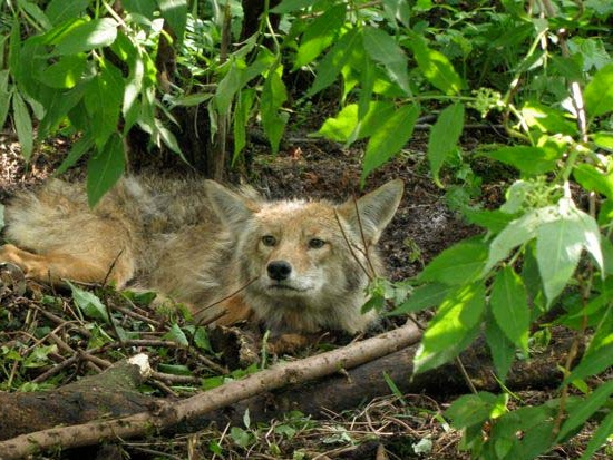 Photo courtesy of the Urban Coyote Project