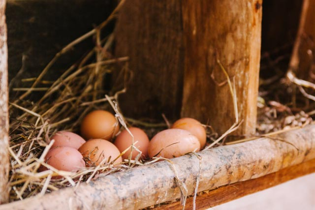 Each hen gives us a minimum of 5 eggs per week, 10 months of the year. Not mention all the beautiful compost and the work they perform with pure enjoyment.