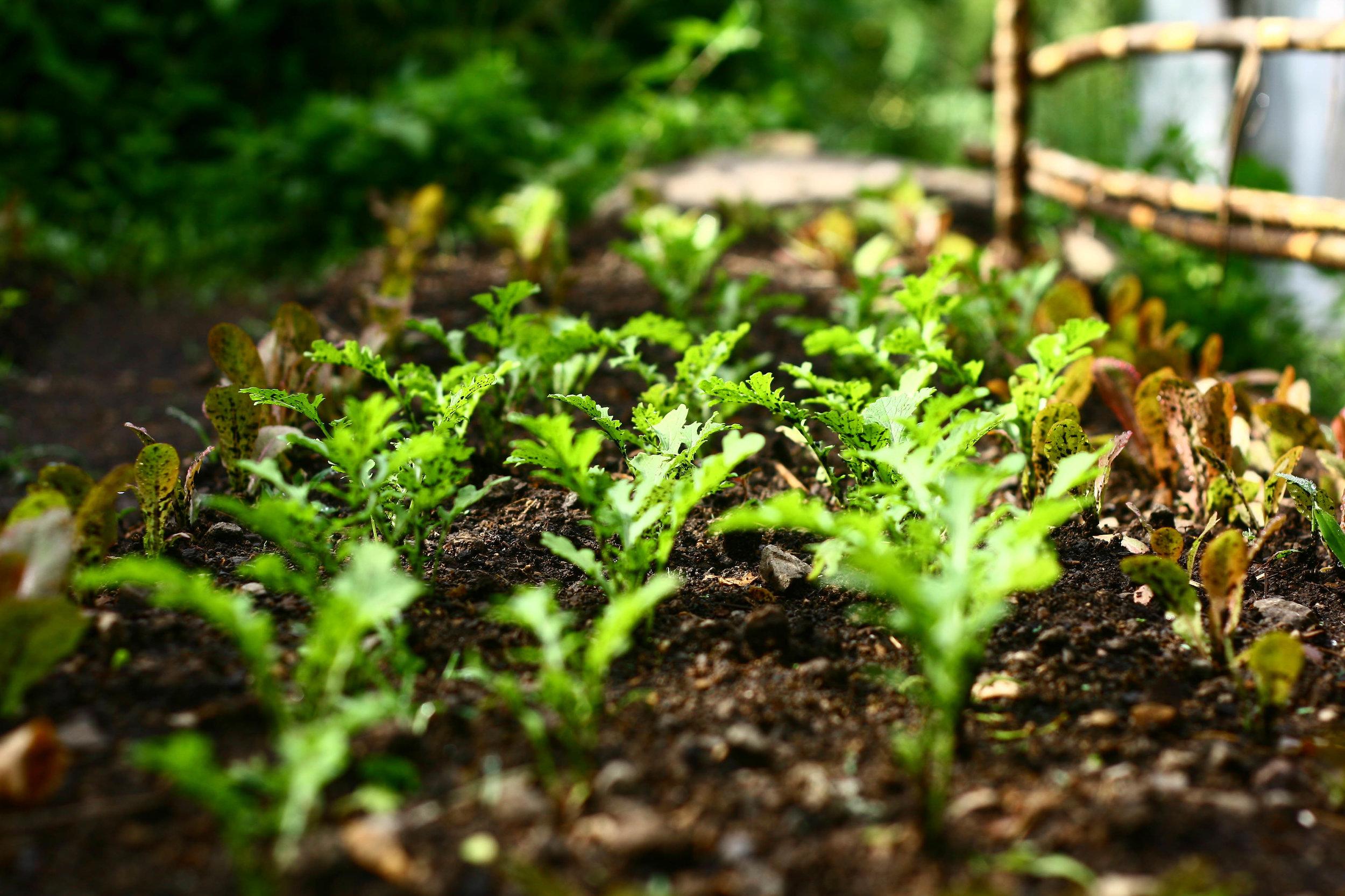 Atitlan Organics Permaculture Farm, Permaculture, Tzununa, Lake Atitlan, Guatemala, Central America, Regenerative Agriculture, Organic