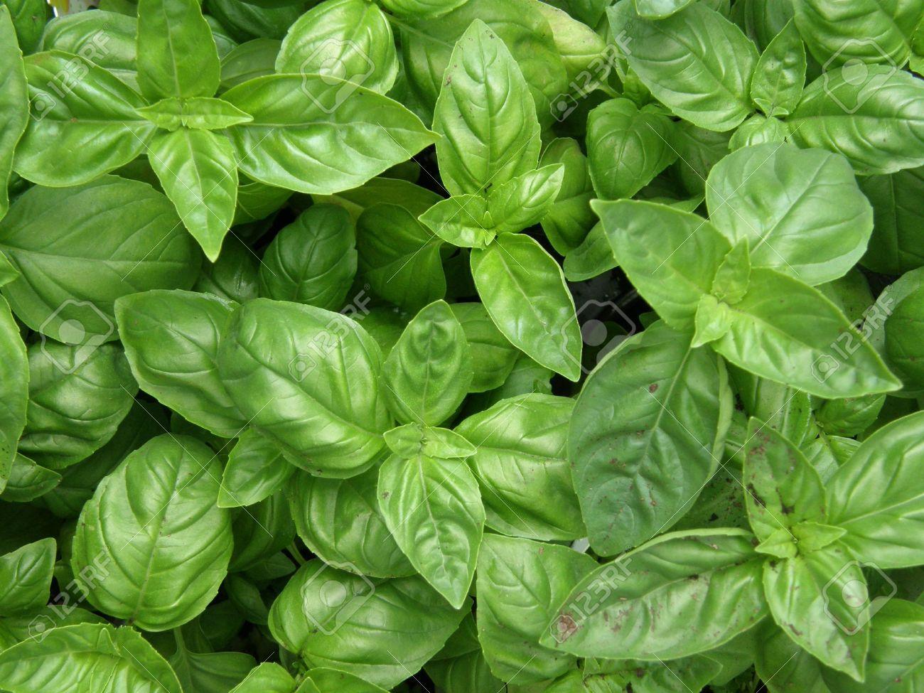 Green Italian Basil