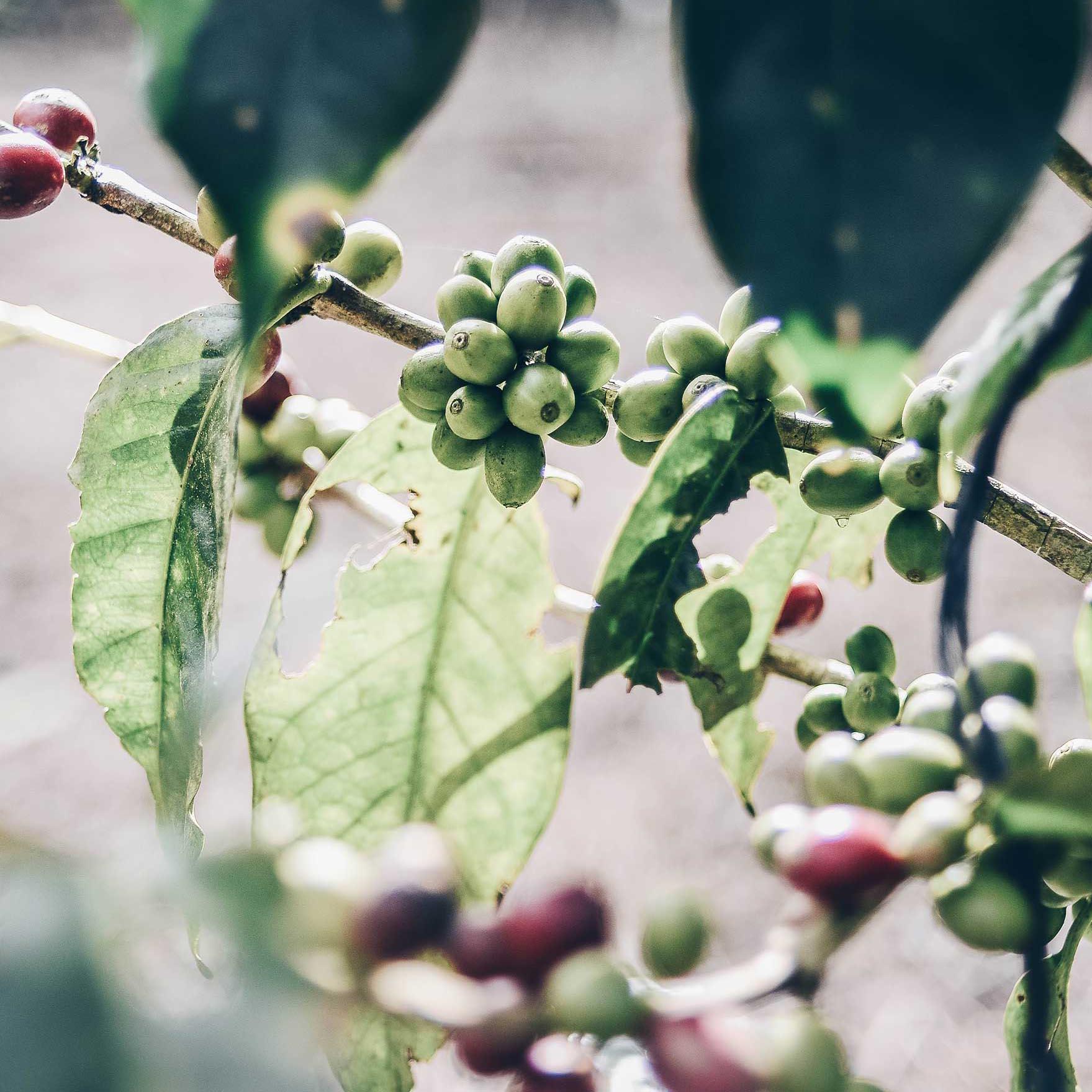 1TwinEngineCoffee-Plant-Coffee.jpg
