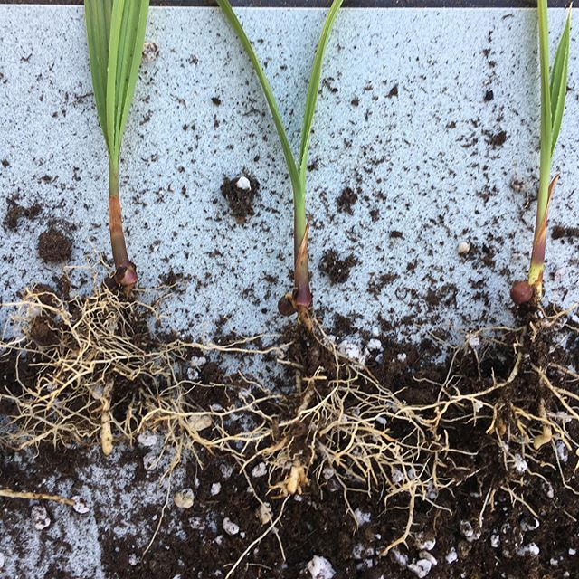 Our CA native #palmtree sporting some impressive #roots and transplanted by two incredible #volunteers this morning.  Photo credit: Liz Brown  #californiafanpalm #washingtoniafilifera #seedlings #propagation #californianativeplants #mojavedesert #growninla