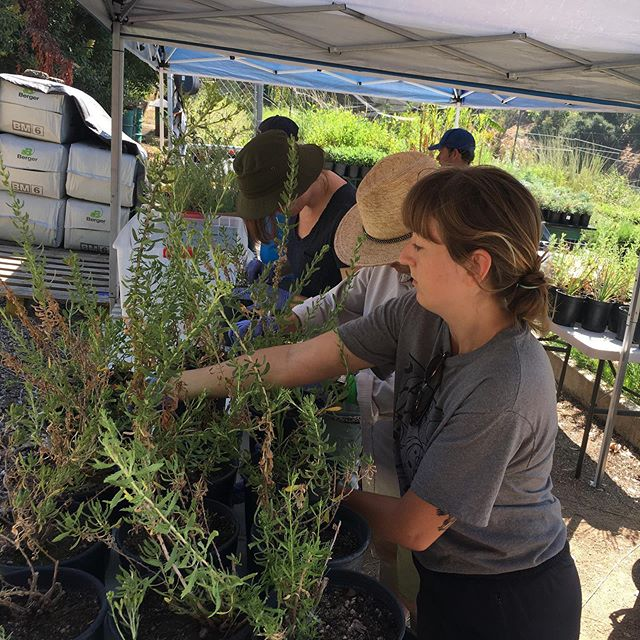 #volunteers helping with #weeding during our open Friday morning work hours! #californianativeplants #growninla #commonwealthnursery #griffithpark