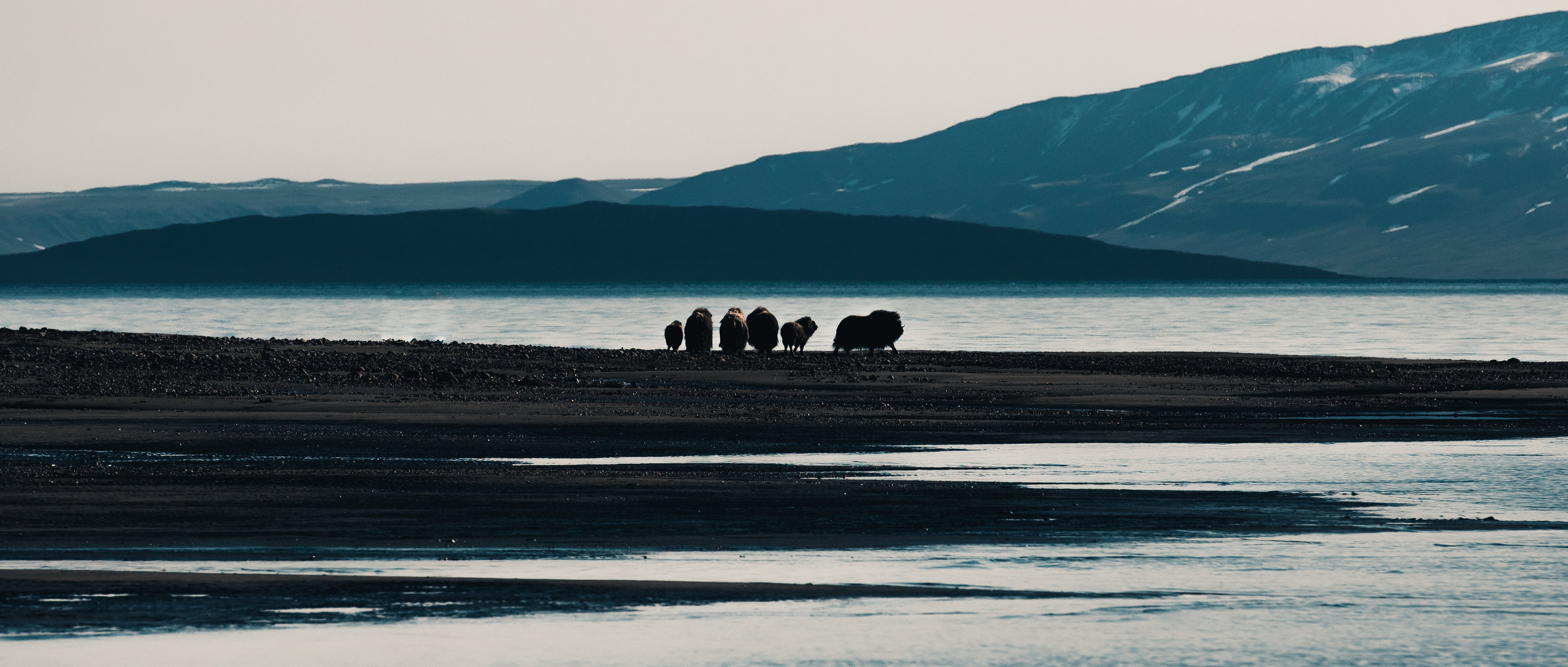 Musk Oxes in the coast of North-East Greenland 2017