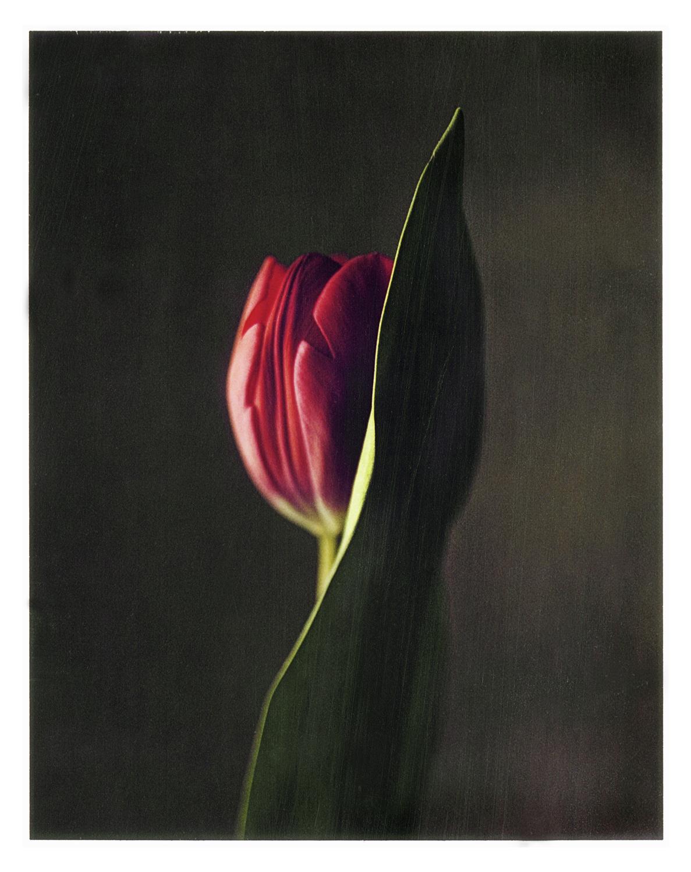 painted-tulip.jpg