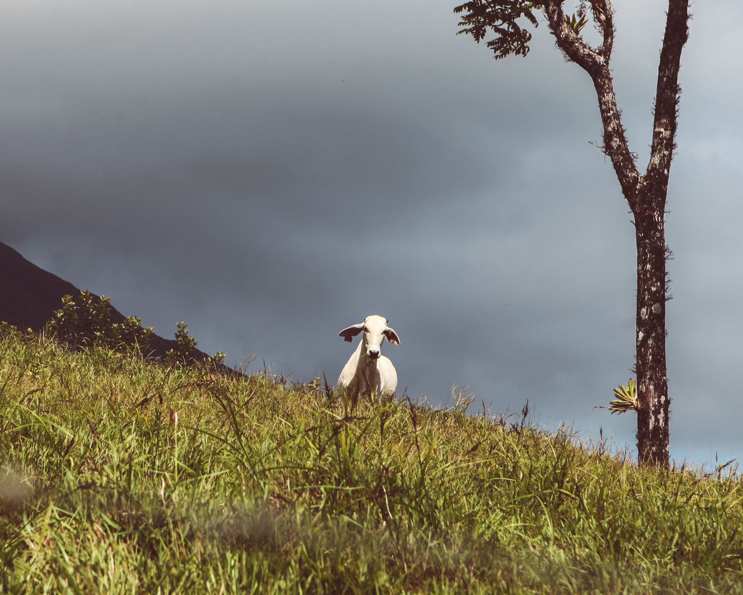arenal-costa-rica-wander-south-cow.jpg