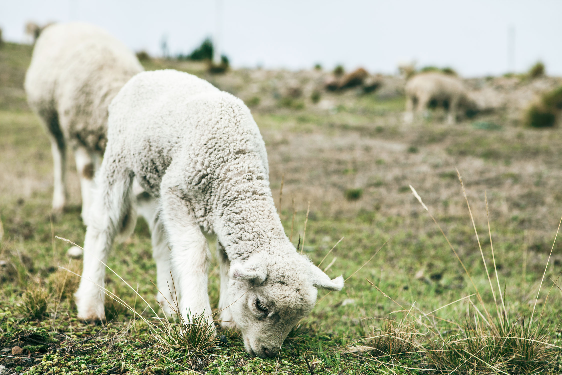 quilotoa-loop-lago-de-wander-south-sheep-lamb-1.jpg