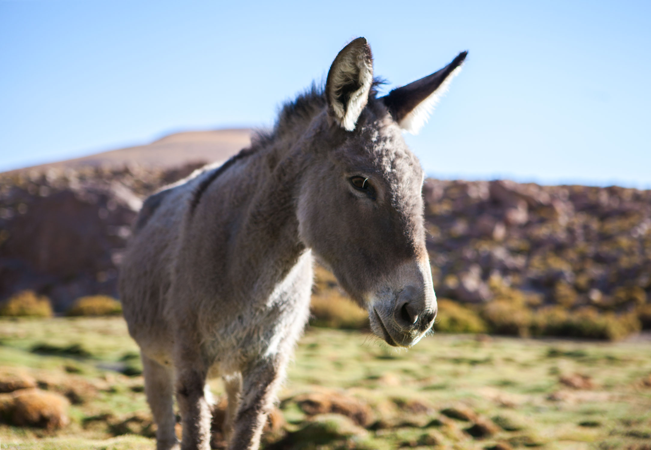 atacama-desert-chile-wander-south-animals-donkey-2.jpg
