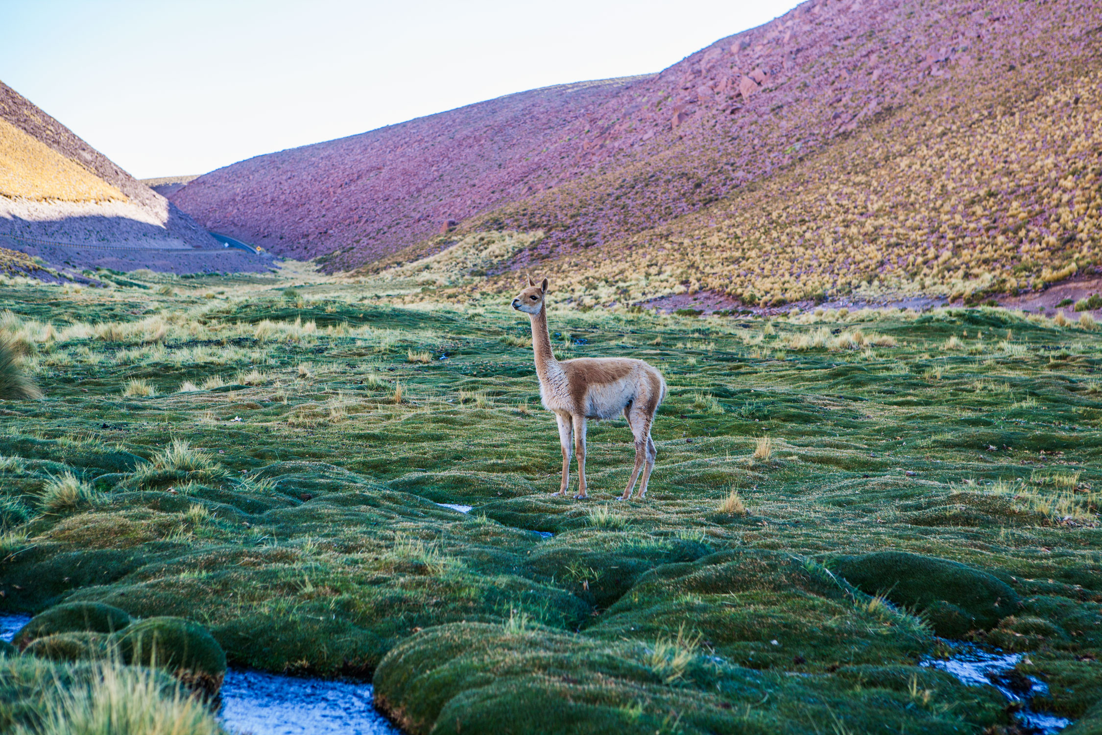 atacama-desert-chile-wander-south-animals-vicunas-1.jpg