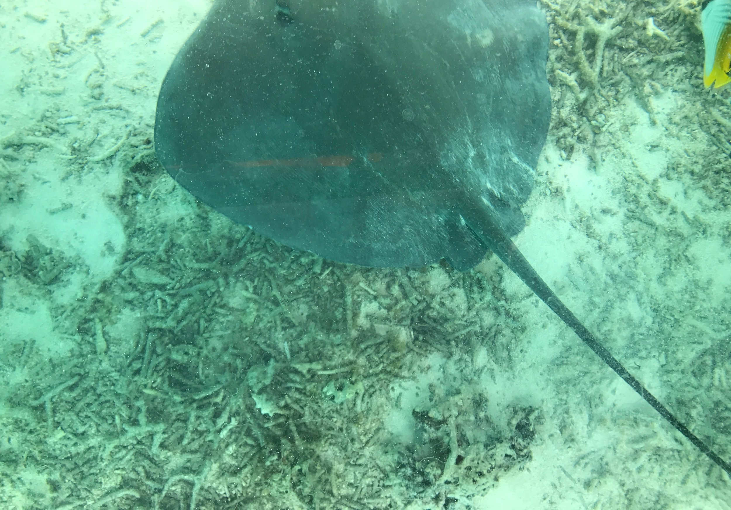 Snorkel with rays
