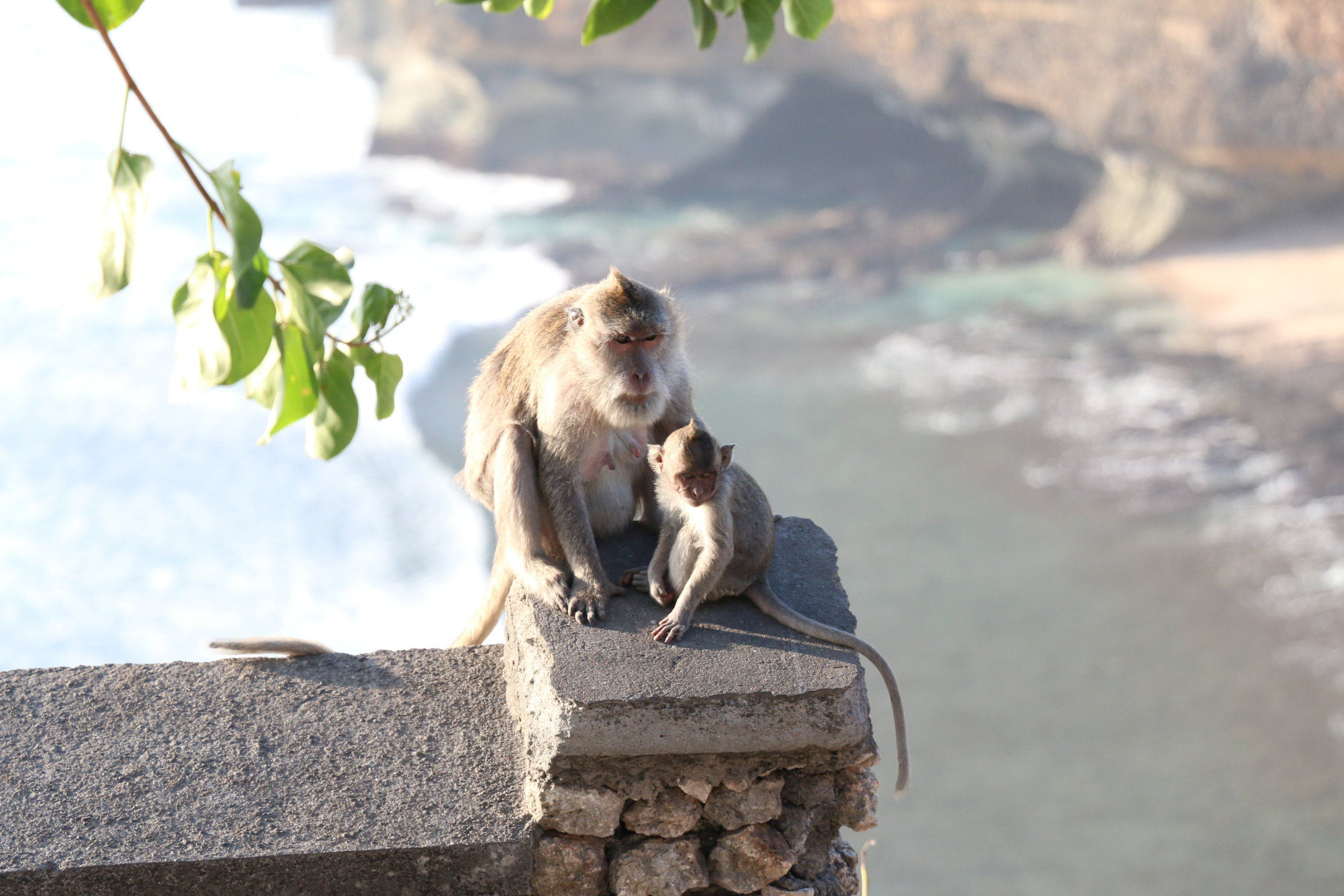 Cute but naughty monkeys! Another reason why you should watch the Kecak Dance at the Uluwatu Temples.