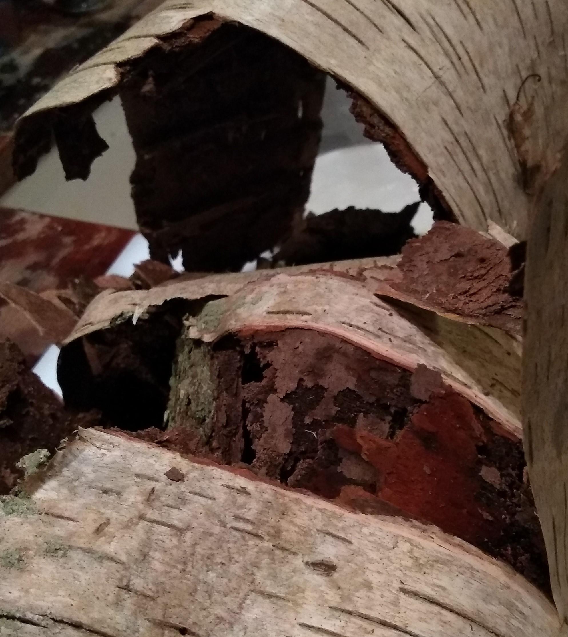 Birch bark from fallen tree