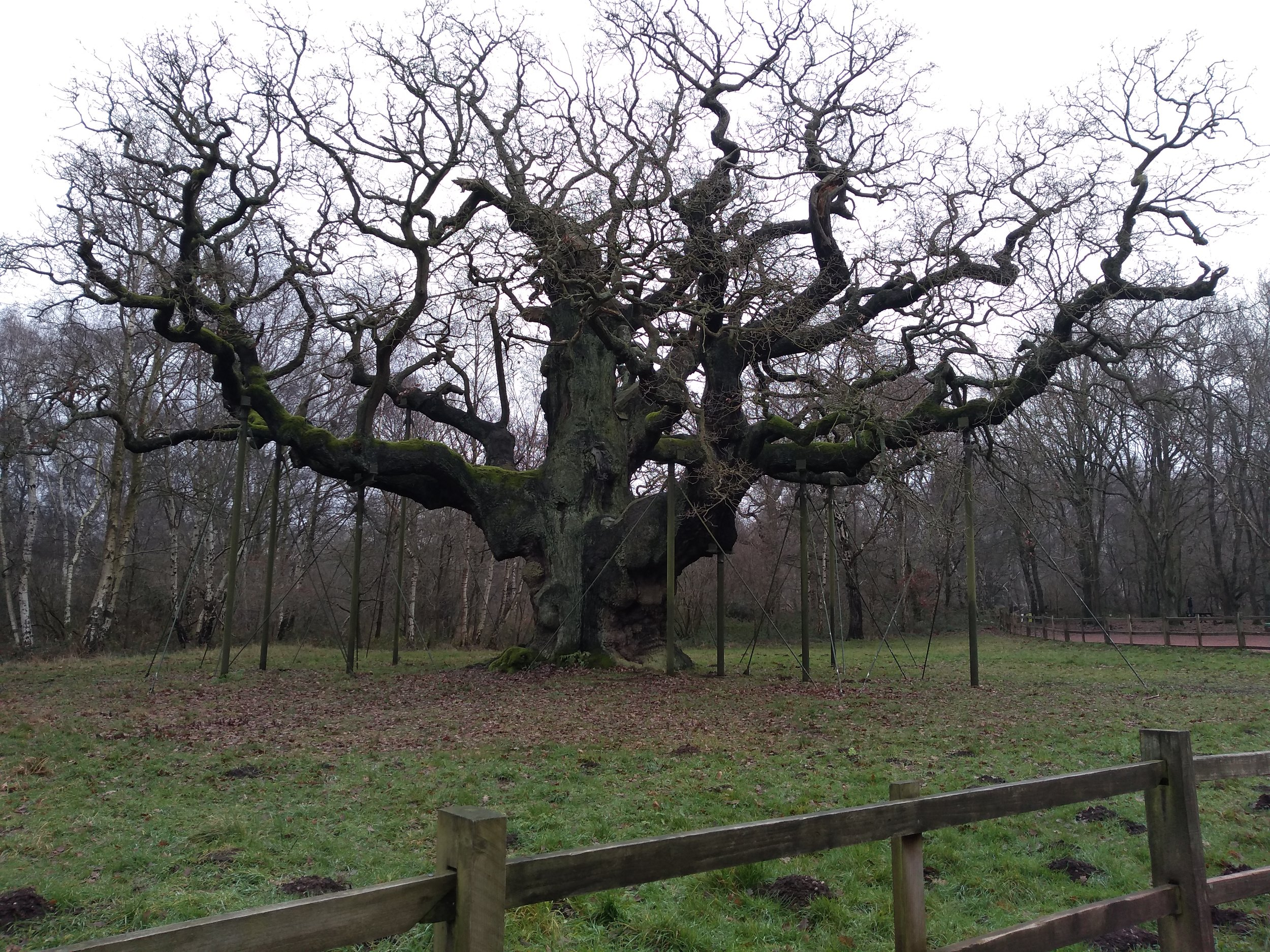 The Major Oak - mid winter