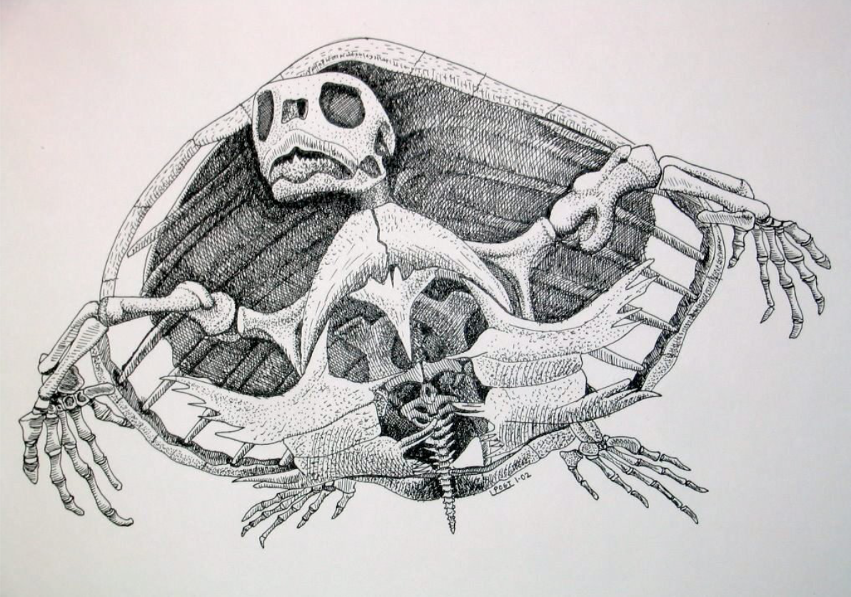 Chelonioidea  sea turtle.