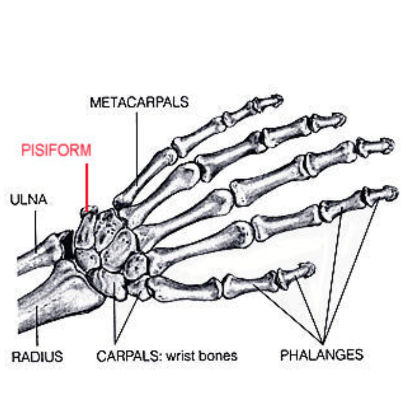 Human pisiforms are far smaller than that of a sea turtle, and don't protrude.