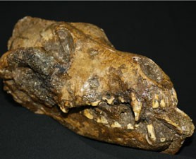 The fossilized dog skull clutches the mammoth bone, seen sticking out of the front of the mouth.
