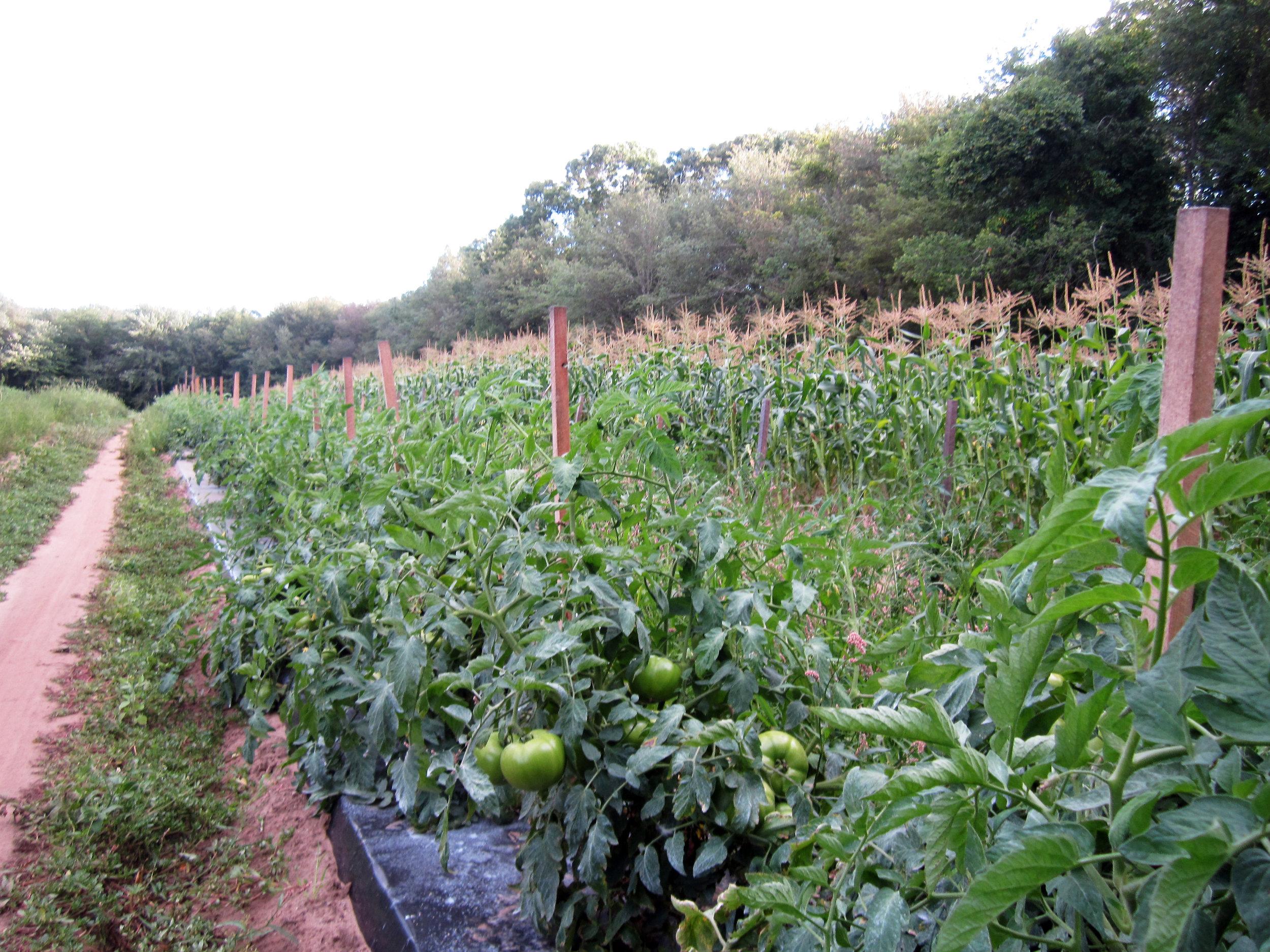 Corn, Tomatoes, etc, Meadow Woods.jpg