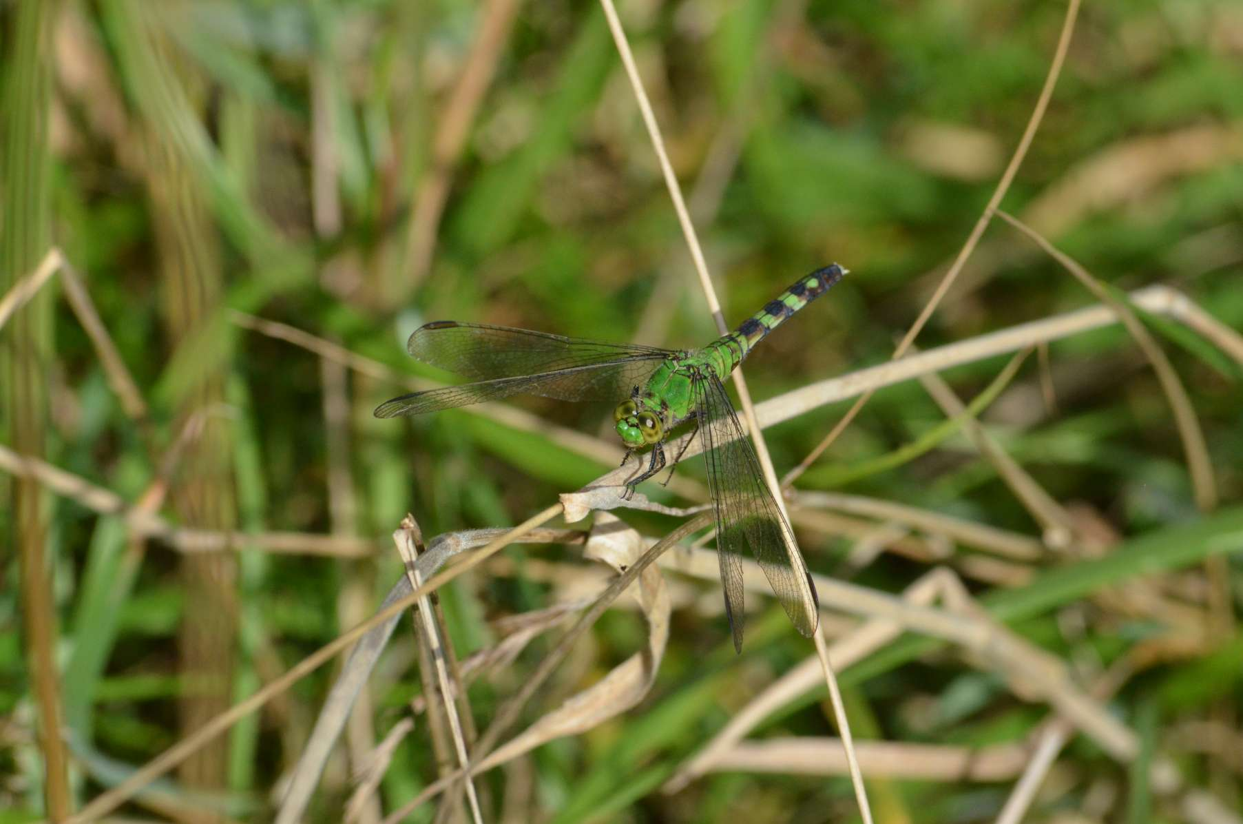 female Pondhawk Dragonfly