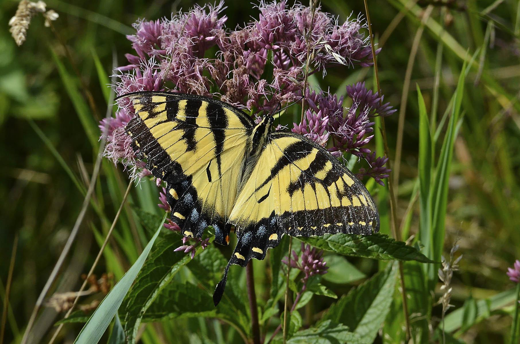 Tiger Swallowtail Butterfly on Joe Pye Weed
