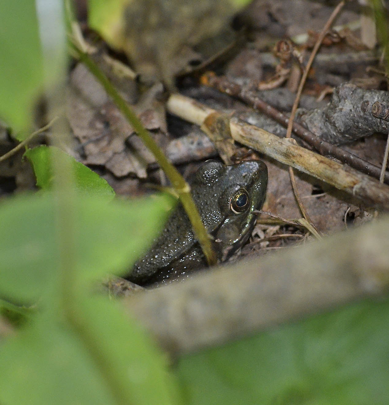 Green Frog, North Vernal Pool