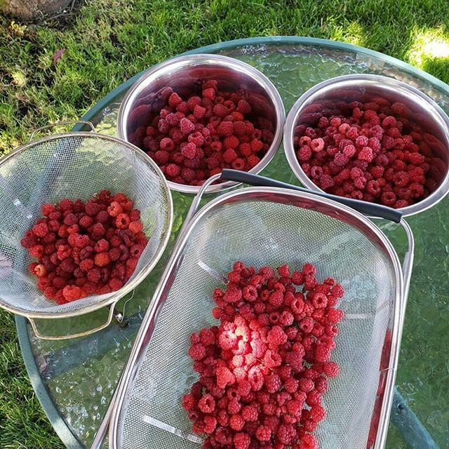 A wonderful #oregonsummer #weekend with #homemadefood #homegrownfood #minersjubilee #rasberrypicking #bakercity #bend #fulloflove