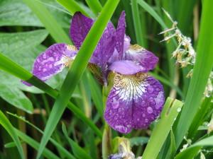 Iris-2-300x225.jpg