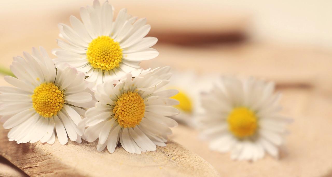 daisy-2313971_1280.jpg