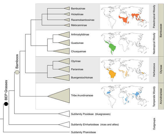 Citation:  Kelchner SA and Bamboo Phylogeny Group (2013) Higher level phylogenetic relationships within the bamboos (Poaceae: Bambusoideae) based on five plastid markers.  Molecular Phylogenetics and Evolution  67:404-413