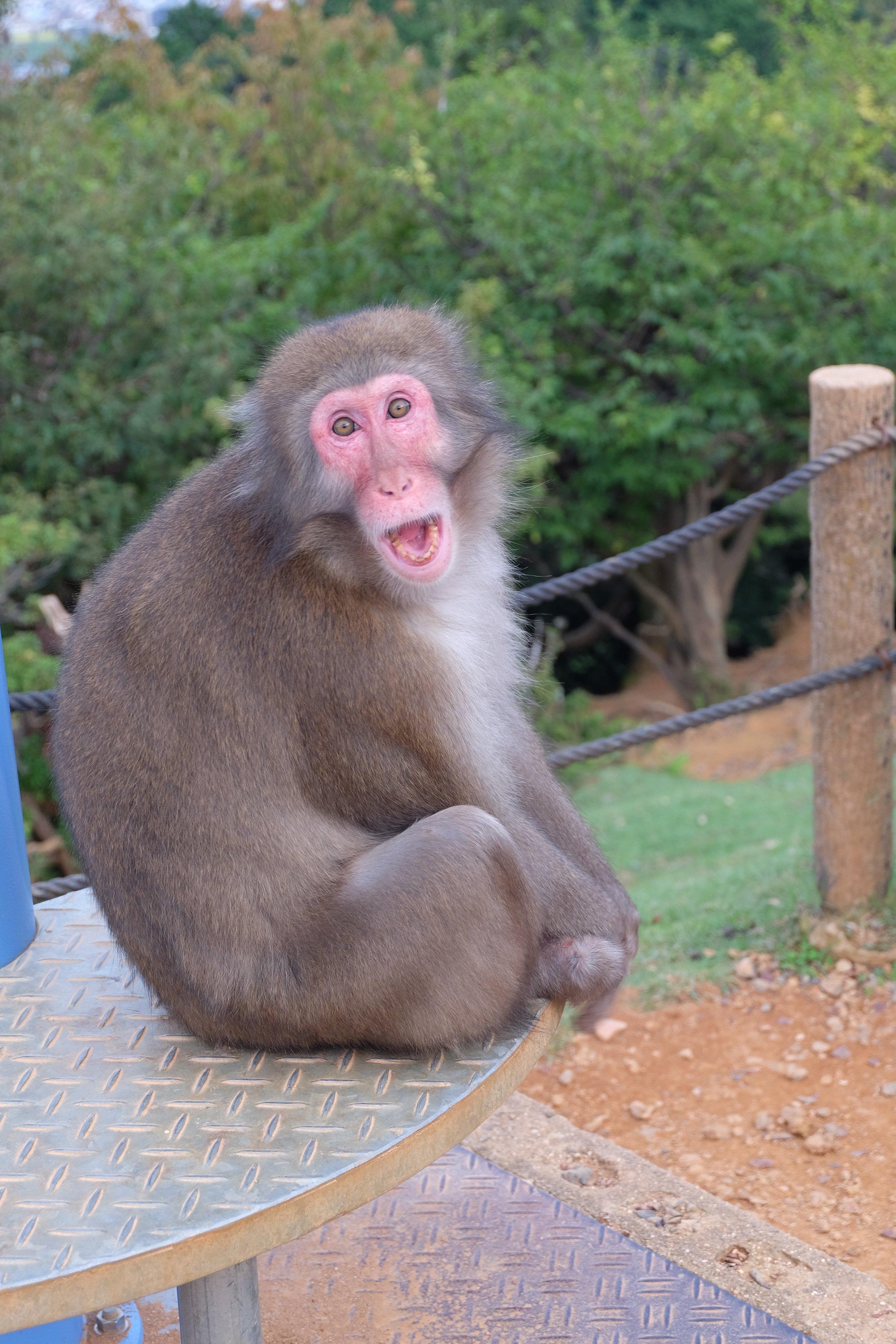 Meeting monkeys at Iwatayama