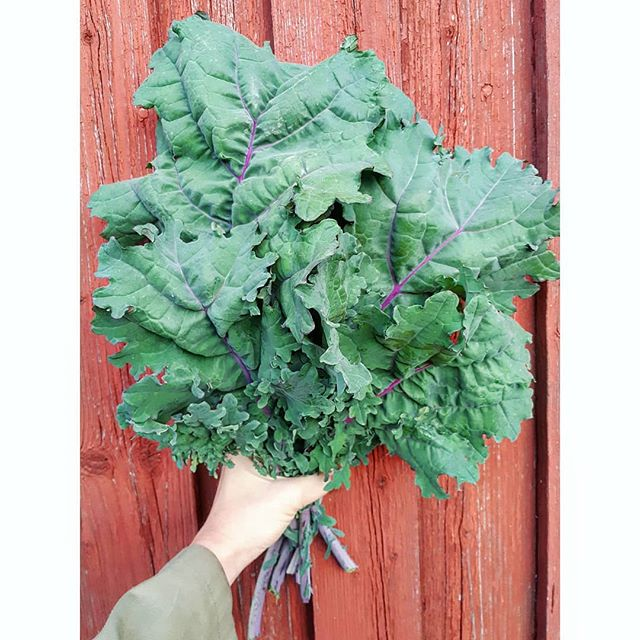 We have a gårdsbutikk/farm store today! 12pm to 3pm Børsumveien 51. This is Red Russian Kale -- one of our new crops! 🤩🍀🌱🚜 #gårdsbutikk #grønnmat #linnestadgård #renmat #kortreist #rettfrabonden #organicfarming #økogård #økologisk #norgetrengerbonden #ås #nmbu #oslo