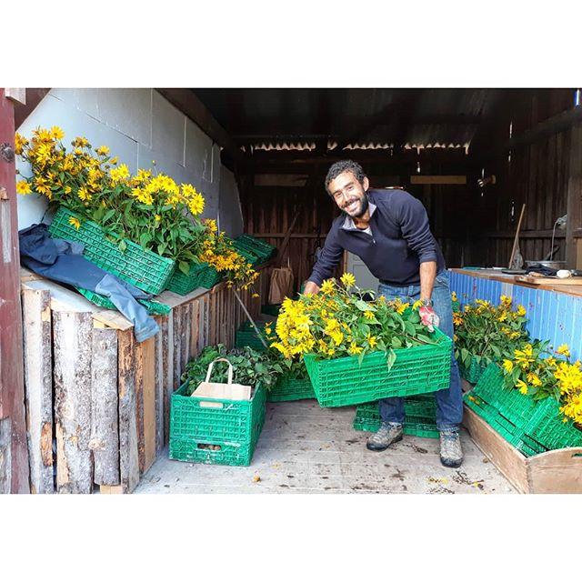 Delivery day 🌻! Jordskokk/jerusalem artichoke flowers, beets, radish seed capsules, radishes, queue ball squash and more. #linnestadgård #ås #oslo #organicfarming #økogård #rettfrabonden #norgetrengerbonden #renmat #grønnmat #økologisk #kortreist