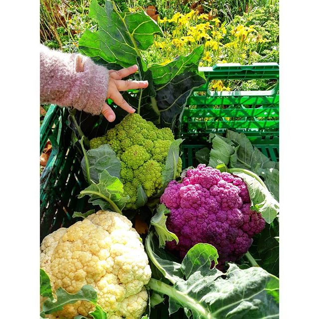 The colourful harvest continues. With small helpers. #linnestadgård #ås #oslo #kortreist #organicfarming #økogård #økomat #økologisk #norgetrengerbonden #kortreist #rettfrabonden #grønnmat #eatyourveg
