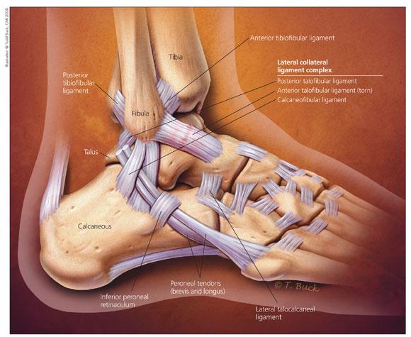 ankle-anatomy-jmm.jpg